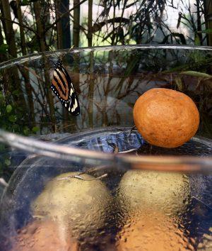 Farfalla arancia